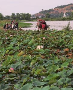 Lotus farmers
