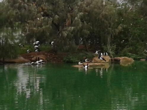 Bird Magpie Geese